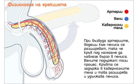 физиология на ерекцията